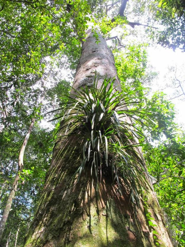 Epithetic Cymbidium orchids on large Diptocarp tree